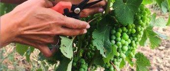 https://www.tp24.it/immagini_articoli/11-07-2020/1594501034-0-vendemmia-verde-ok-da-conferenza-stato-regioni-turano-nel-trapanese-impatto-positivo.jpg