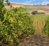 https://www.tp24.it/immagini_articoli/21-09-2019/1569065929-0-cresce-lagricoltura-legata-vino-qualita-sicilia.jpg