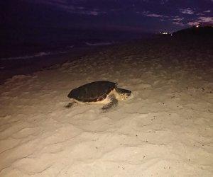 https://www.tp24.it/immagini_articoli/29-06-2020/1593428495-0-sicilia-le-spiagge-siciliane-le-preferite-nbsp-dalle-tartarughe-caretta-caretta.jpg